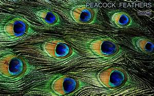 Peacock Wallpapers – Animal Spot