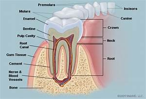 The Teeth  Human Anatomy   Diagram  Names  Number  And