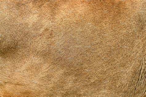 real lion skin texture animal  creative market