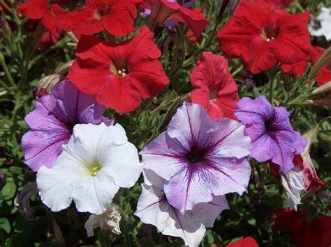 types  petunias gardenscom