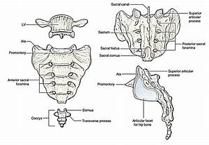 Easy Notes On 【Sacrum】Learn in Just 4 Minutes! – Earth's Lab