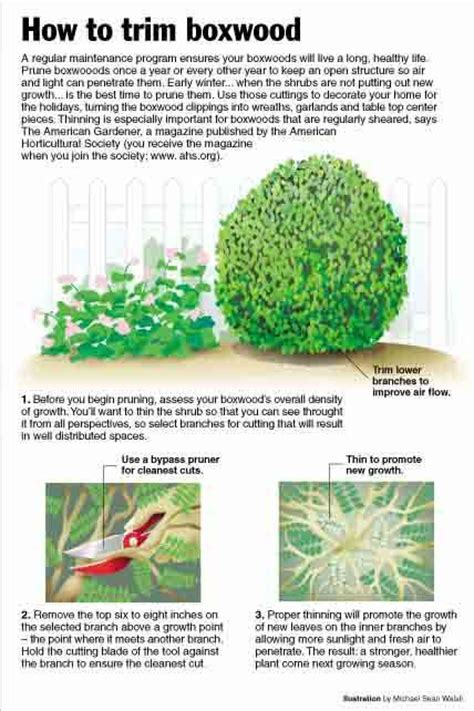 when to prune boxwood how to trim a boxwood yard gardening pinterest velvet green and winter
