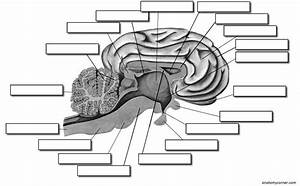 Pig Brain Dissection Worksheet