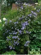 Climbing Hydrangea  Seeds And Plants  Pinterest