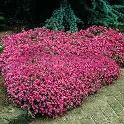 forsythia wreath 40 wieloletnich bylin 5 krzewów gratis