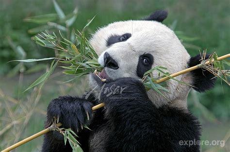 Cool Panda Eat Bamboo Hd Desktop Wallpaper, Instagram