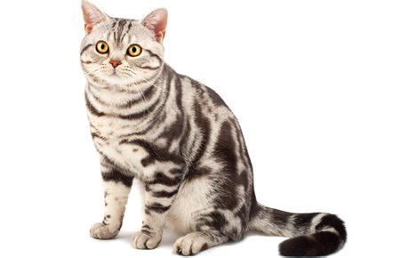 American Shorthair Cat Breed Information, Pictures