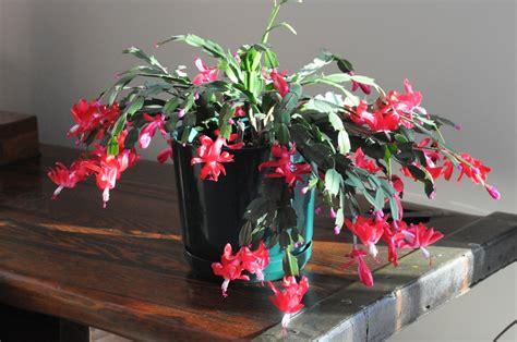 plantes dans une chambre cactus de pâques planter et entretenir ooreka