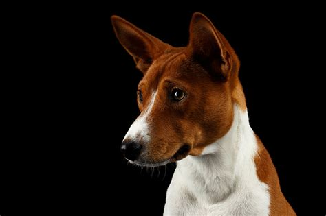photos dogs basenji snout animals black background