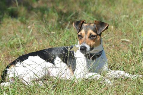 Jack Russell Terrier Jrt Jacob Running Stock Image