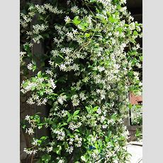 Best 25+ Climbing Vines Ideas On Pinterest  Plants For