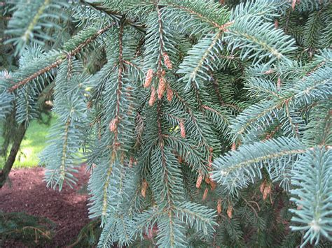 ornamental conifers ornamental conifers nemčok sk