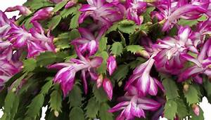 How to Care for a Christmas Cactus: Bloom Cycle and Tips