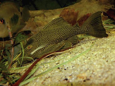 sand  gravel   freshwater aquarium pets