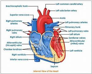Heart Diagram Labeled And Unlabeled
