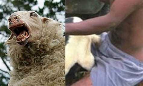 Bestiality On The Rise Man Caught Having Sex With Sheep