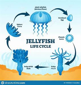 Jellyfish Life Cycle Educational Labeled Diagram Vector