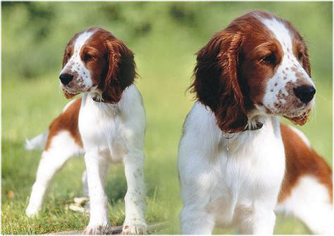 welsh springer spaniel puppies rescue pictures