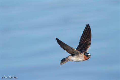 california gulls vs cliff swallows by cory destein