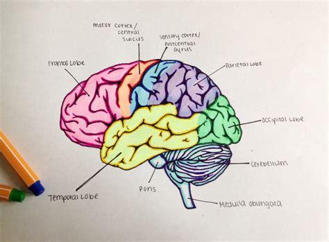 Ap Psychology Neuroscience