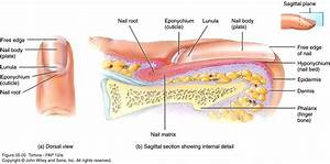 Structure Of A Fingernail  With Images