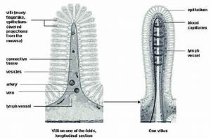 Structure Of Intestinal Villi