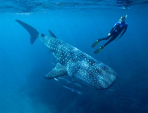 Whale Shark Video And Satellite Tags Help Scientists