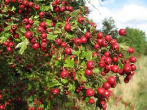 Hypertension: Treating High Blood Pressure with Hawthorn » How To ...  Hypertension Hawthorn
