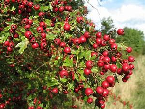 Herbs & Supplements - Hawthorn Herb Information and Benefits  Hypertension Hawthorn