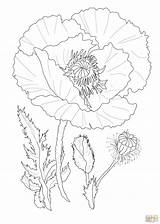 Poppy Coloring Flower Poppies Flowers Drawing Printable Drawings Template Outline Realistic Coquelicots Supercoloring Coquelicot Colouring маки Dessin Coloriages Coloriage Simple sketch template