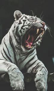 25 Best White Tiger Photographic | Fotos de animales salvajes