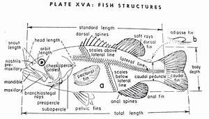 fish diagrams printable printable diagram With fish diagram