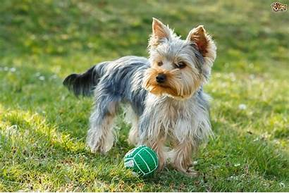 Dog Breeds Expensive Terrier Yorkshire Least Breed