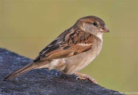 the urban chirp sparrows the urban chirp sparrows