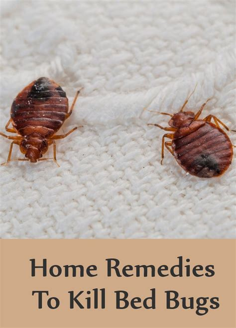 Bed Bugs by 8 Home Remedies To Kill Bed Bugs Search Home Remedy