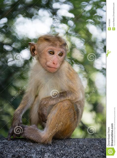 Thoughtful Young Monkey Stock Image  Image 34762281