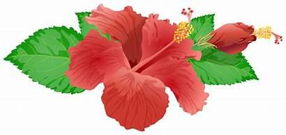 Flower Clip Hibiscus Clipart Transparent Background Plant