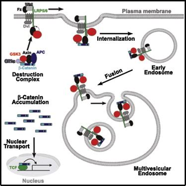 wnt signaling requires sequestration  glycogen synthase