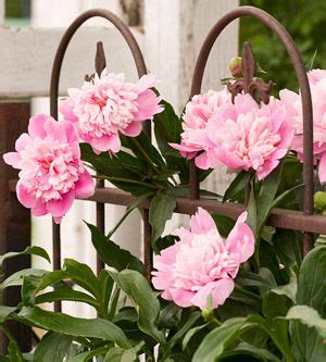 staking peonies 17 best images about i love peonies on pinterest growing peonies tree peony and flower
