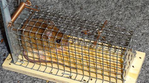 gegen ratten vorgehen ratten m 228 use bek 228 mpfen m 252 nchen augsburg rosenheim