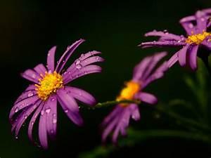 Macro water drops on the purple flower - Spring perfume