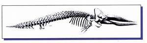Narwhal Skeleton Diagram