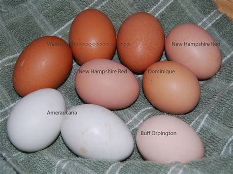 buff orpington egg color welsummer new hshire dominique ameraucana maybe