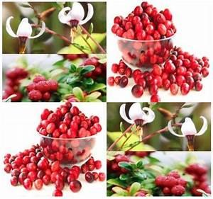 20 American Cranberry, Vaccinium macrocarpon, Seeds LOW ...