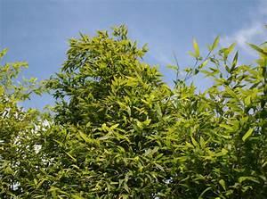 Bambus In Kübeln : schwarzer bambus phyllostachys nigra baumschule horstmann ~ Michelbontemps.com Haus und Dekorationen