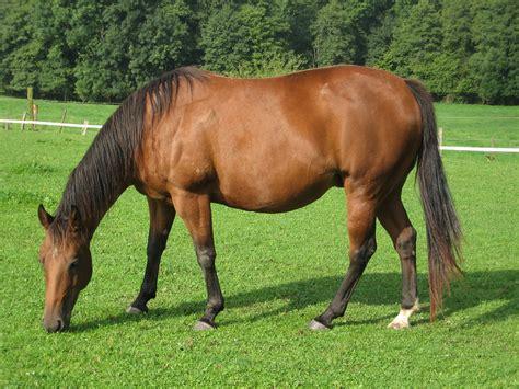 horse quarter american wikipedia horses plants breed texas bay america state muscular caballo june file breeds origin tail americas