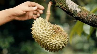 Durian Biggest Giphy King Trees Grocery Malaysia