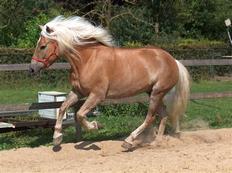 haflinger horse horses hafling breeds pony breed stallion mare haflingers ponies advertisements european caballos bred