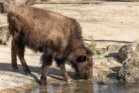 bison tiergarten schoenbrunn
