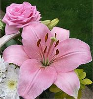 Most Beautiful Lily Flowers